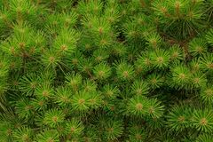 Bright green background from the decorative coniferous lops of tree Royalty Free Stock Images
