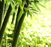 Bright green bamboo forest Royalty Free Stock Photo