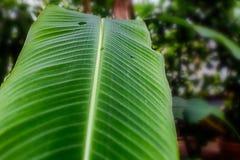 Bright green banana leaf closeup with a tropical garden at the background. Bright green banana leaf closeup with a tropical garden at the  background Royalty Free Stock Photos