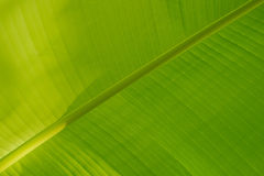 Bright green banana leaf Stock Photography