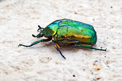Bright Green Bearded Bettle Royalty Free Stock Photography