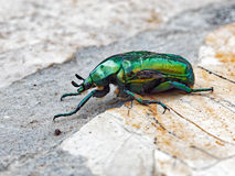 Bright Green Bearded Bettle Stock Images