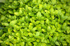 Bright green boxwood wallpaper background Royalty Free Stock Images