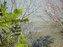 A bright green branch of a young pine and a blooming willow on the edge of the lake in early spring after the ice stock photo