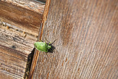 Bright green bug Stock Photography