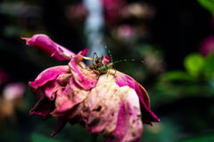 Bright Green Bug on Beautiful Old Purple and Pink Rose Royalty Free Stock Photography