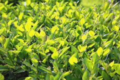 Fine foliage of a bright green shrub as a background Royalty Free Stock Photography