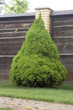 Bright green Canadian spruce. On the lawn Stock Photos