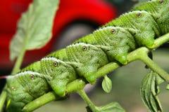 Bright Green Caterpillar Stock Photography