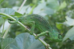 Bright green Chameleon on a branch Royalty Free Stock Photos