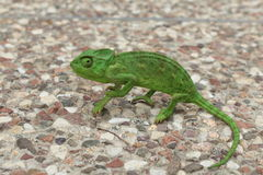 Bright green Chameleon on the ground Stock Photos