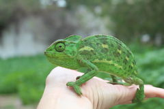 Bright green Chameleon on a hand Royalty Free Stock Images