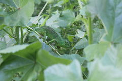 Bright green Chameleon masked in natural habitat Royalty Free Stock Photography