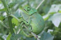 Bright green Chameleon Stock Photo