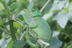 Bright green Chameleon with open mouth Stock Photos