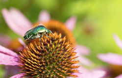 Bright green Chapfer on a flower of Echinacea Royalty Free Stock Photo
