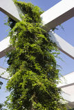 Vine on Pergola. Bright green climber plant using a white pergola to support its growth Royalty Free Stock Photos
