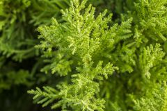 Bright green conifer needles on a branch close up on a blurred background of a bush. A bright green conifer needles on a branch close up on a blurred background stock image