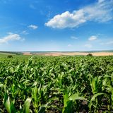Bright green cornfield and blue sky with light cumulus clouds. Stock Image