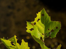 Bright Green, Decaying Leaf Royalty Free Stock Photo