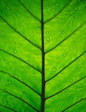 Bright green elephant ear leaf. Bright tropical green elephant ear leaf with raindrop Royalty Free Stock Photos