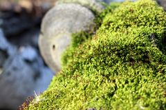Bright green emerald moss on the trunk of a fallen tree in the forest. Bright green emerald moss grows on the trunk of a fallen tree in the forest stock images