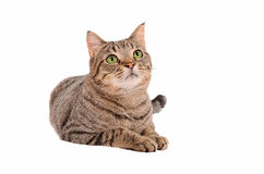 Bright green eyed tabby cat on white background Royalty Free Stock Photo