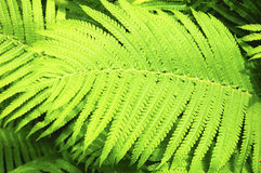 Bright Green Fern Leaf Royalty Free Stock Photography