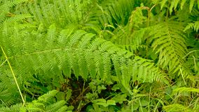 Bright green fern leafs bakcground. Bright green fern plants in a forest wilderness - Pteridophyta royalty free stock photos