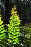 Bright green fern reflecting sunlight in the forest royalty free stock photo