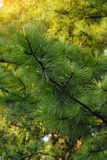 Bright green fir branch with young shoots Stock Photo