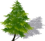 Bright green fir with shadow illustration. Illustration with green fir isolated on white background Stock Photos