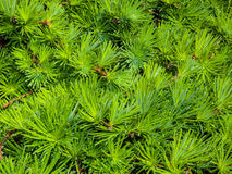 Bright green fir Royalty Free Stock Photo
