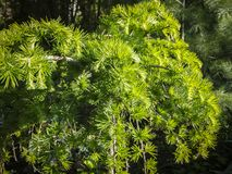 Free Bright Green Fluffy Branches Of Larch Tree Larix Decidua Pendula In The Sunlight. The Atmosphere Of Delight And Freshness Of The S Royalty Free Stock Photos - 138857828