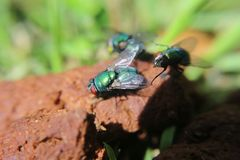 Bright green fly with red eyes stock image
