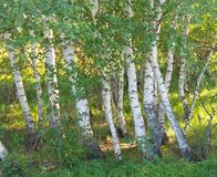 Birch trees closeup on a bright summer day stock images