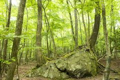 Bright green forest and stone. Fresh bright green broad leaf trees native forest and stone in early summer Stock Images