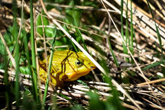 Bright green frog hiding on the grass Stock Photo