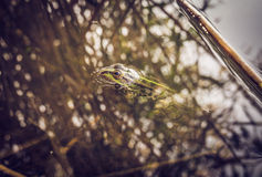 Bright green frog Stock Photos
