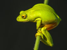 Bright green frog. Rare green tree frog spotted hanging onto a reed at the edge of a dam Royalty Free Stock Photography
