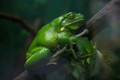 The Dormant green Frog. royalty free stock photos