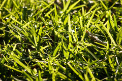 Bright green grass background texture. Royalty Free Stock Photography