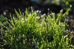 Bright green grass with drops of dew, beautiful bokeh royalty free stock image