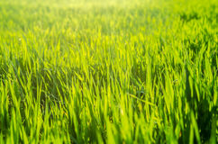 Bright green grass field at sunny day. Beautiful macro with bright colors Royalty Free Stock Photography