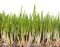 Bright green grass. Bright juicy green grass with roots in the organic soil isolated over white background Stock Photos
