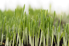 Bright green grass. Bright juicy green grass with roots in the organic soil isolated over white background Royalty Free Stock Photography