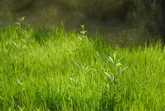 Bright Green Grass Royalty Free Stock Image