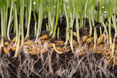 Bright green grass. With roots in the organic soil Stock Photo