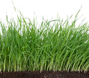 Bright green grass. With roots in the organic soil Stock Photos