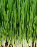 Bright green grass. With roots in the organic soil Royalty Free Stock Photos